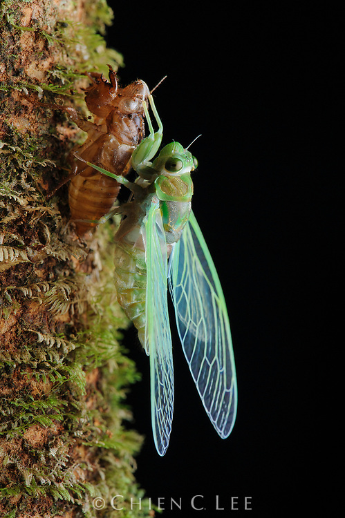 Under the cover of darkness, a cicada sheds its nymphal skin to emerge as a fully grown adult.  Sarawak, Malaysia.