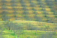Bare trees in early spring orchard on hill, near Paso Robles San Luis Obispo County, California