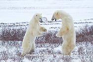 01874-12519 Two Polar bears (Ursus maritimus) sparring in winter, Churchill Wildlife Management Area, Churchill, MB Canada