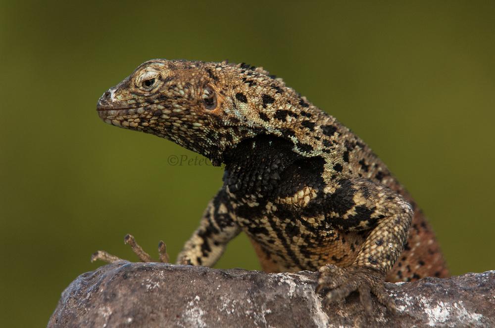 Lava Lizard male (Microlophus delanonis)<br /> Puenta Suarez, Expañola Island, GALAPAGOS ISLANDS<br /> ECUADOR.  South America