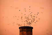 The chimney swift (Chaetura pelagica) is a bird belonging to the swift family Apodidae. A member of the genus Chaetura, it is closely related to both the Vaux's swift and the Chapman's swift; in the past, the three were sometimes considered to be conspecific. It has no subspecies. The chimney swift is a medium-sized, sooty gray bird with very long, slender wings and very short legs. Like all swifts, it is incapable of perching, and can only cling vertically to surfaces.<br /> <br /> The chimney swift feeds primarily on flying insects, but also on airborne spiders. It generally mates for life. It builds a bracket nest of twigs and saliva stuck to a vertical surface, which is almost always a human-built structure, typically a chimney. The female lays 4–5 white eggs. The altricial young hatch after 19 days and fledge a month later. The average chimney swift lives 4.6 years.