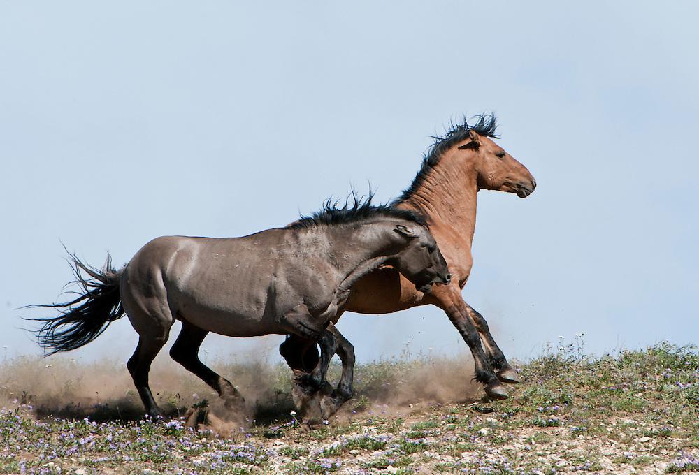 Fighting stallion rivals