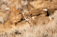Northern Utah Mule Deer late into December and still not much snow and the deer move easly around the mountain hillsides.