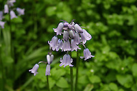 Pink bluebell flowers