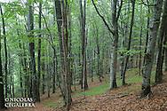 Hetres communs, Fagus silvatica, parc national de central balkan