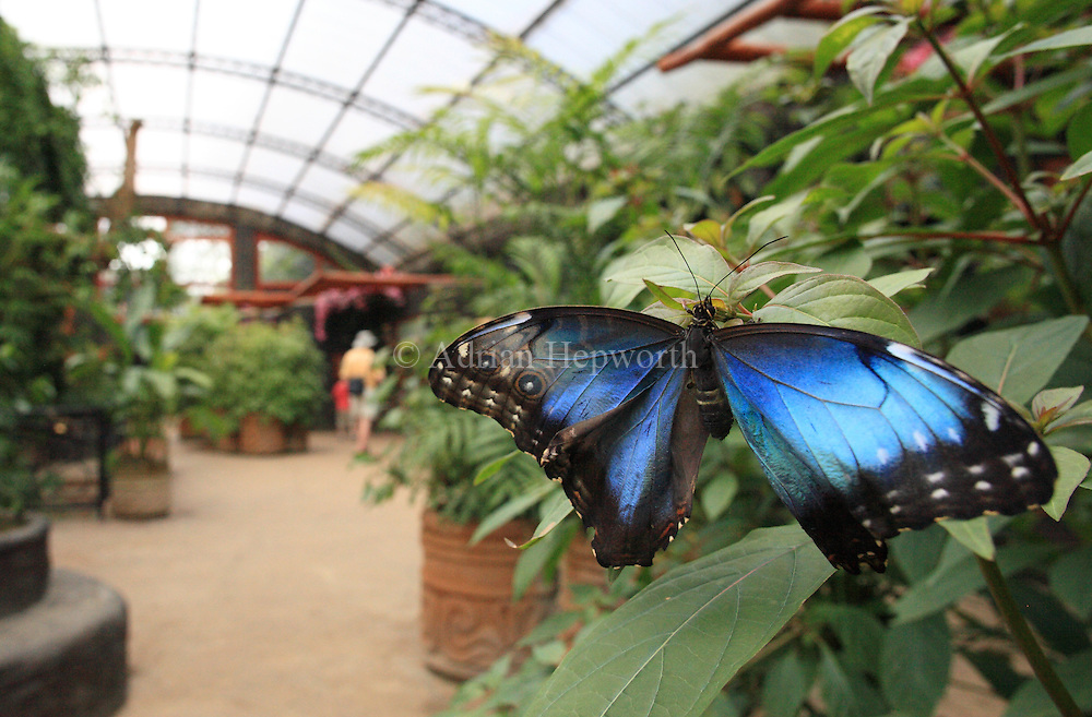 Blue Morpho butterfly in butterfly garden at La Paz Waterfall Gardens / Peace Lodge. Near Vara Blanca, Costa Rica.<br />