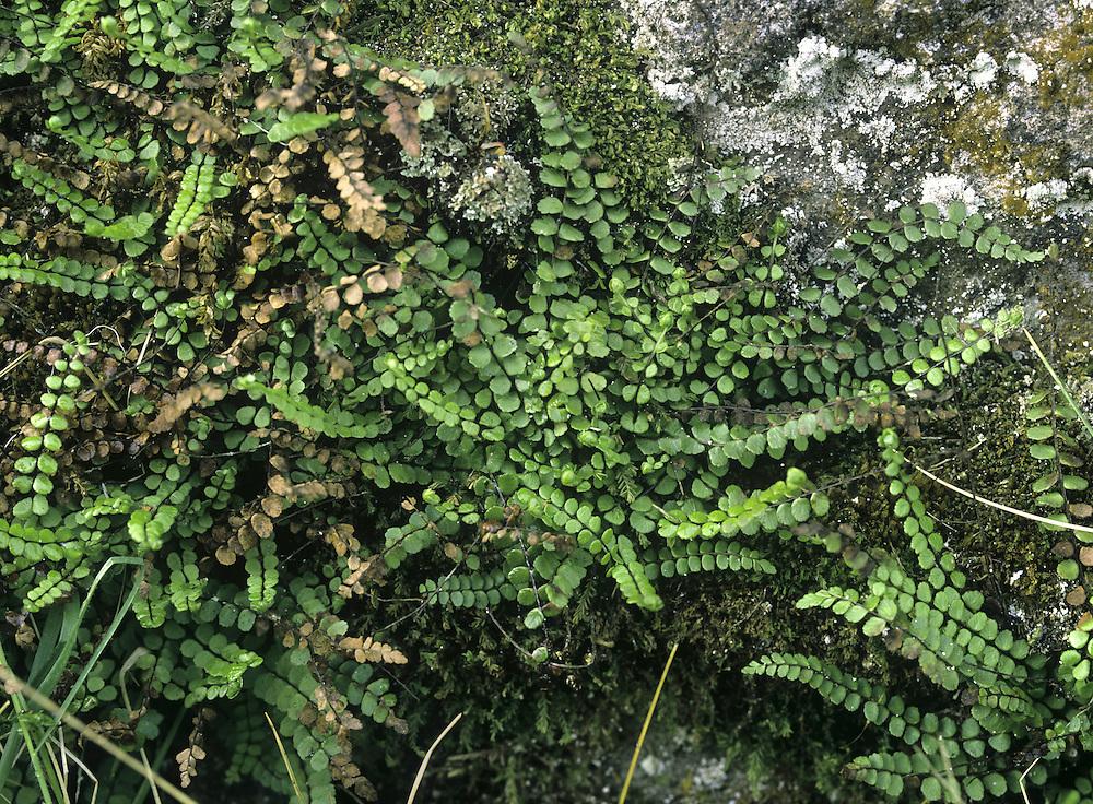 Maidenhair Spleenwort - Asplenium trichomanes