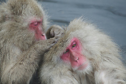 Japan, Jigokudani Monkey Park. A snow monkey grooms another while sitting in a hot spring. Credit as: © Josh Anon / Jaynes Gallery / DanitaDelimont.com