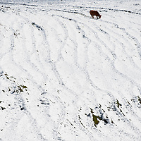 A cow looks for grass in the snow in the Northern Spanish Basque village of Okondo, on December 2010. Photo Rafa Rivas