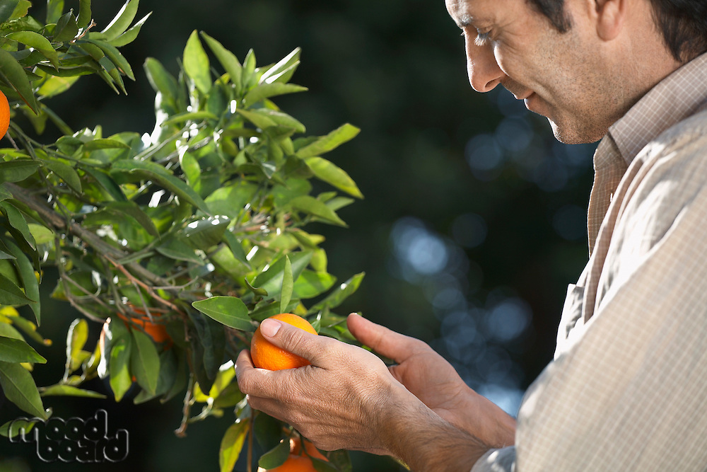 Farmer looking at oranges on tree