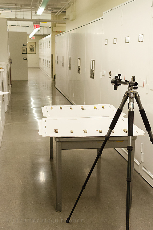 Photographing the Spelman Collection at the Museum of Comparative Zoology, Harvard University.