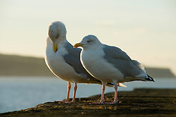 Two Herring Gulls or Seagulls perched on Whitby Harbour Sea Wall. Latin name Larus argentatus. Usually grey in colour with a yellow bill immature birds aged between one and four years are a mottled brown. September 2010 .Images © Paul David Drabble