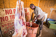 16 JUNE 2012 - GILA RIVER INDIAN COMMUNITY, PHOENIX, AZ: Ibrahim Swara-Dahab cleans out the guts of a freshly slaughtered sheep in the killing room on his goat farm. Swara-Dahab, 57, left Somalia in 1993. He lived in a refugee camp in Kenya for five years before coming to the United States and in 2006 settled in the Phoenix. He got a $10,000 loan from the micro-enterprise development program for refugees. The money allowed him to buy dozens of goats and sheep, each worth $130 to $200, turning his one-sheep operation into a money-making, time-consuming herd. He now operates a full time goat ranch and slaughter house. He slaughters his goats and sheep in the Muslim halal tradition. Most of his customers are fellow refugees and Muslims who prize goat meat or eat only meat slaughtered according to halal traditions. Immigrants also prize parts of the body, like stomach linings and intestines, not available in main stream butcher shops. His butchering operation is on the Gila River Indian Community, near Laveen, AZ, just southwest of Phoenix.   PHOTO BY JACK KURTZ