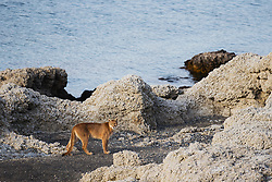 A puma (Puma con color) also known as a mountain lion or cougar,  standing on the edge of a lake on a rocky stromolite outcrop, Torres del Paine, Chile, South America