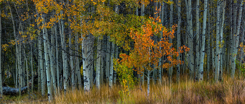 Aspen in fall foilage near Silver Peak in the Boulder Mountains of Central Idaho.