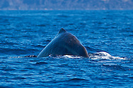 Sperm whale-grand cachalot (Physeter macrocephalus), Pico Island, Azores Archipelago.