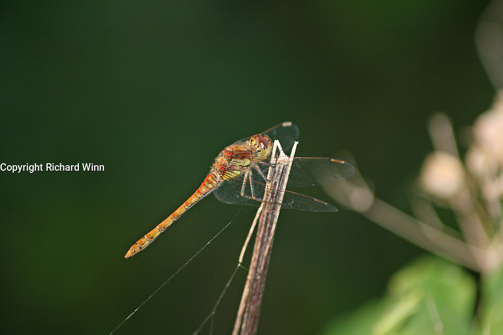 Closeup of a female common darter dragonfly. The red colouration is indicative of an older individual.