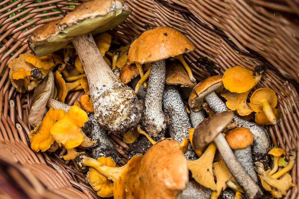 The haul from a morning of hunting wild mushroom on Saturday, August 24, 2013 in Suzdal, Russia.