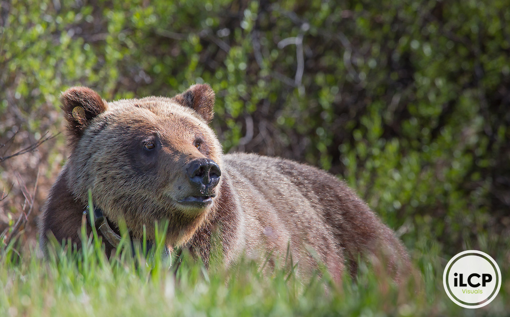 Grizzly bear in Grand Teton.
