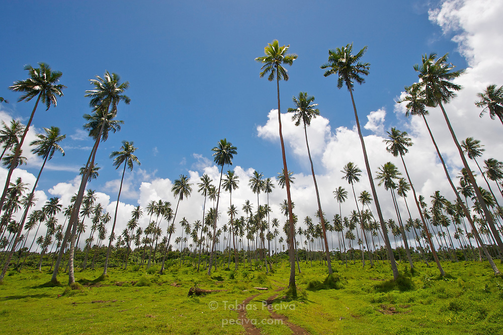 Wide angle shot of a coconut plantation on Savaii, Western Samoa.