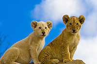 3 1/2 month old Lion cubs (one is a White Lion, a rare breed), Lion Park, Johannesburg, South Africa