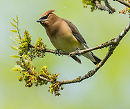A bohemian waxwing perches on a branch where it has eaten moss.