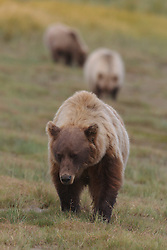 North American brown bear / coastal grizzly bear (Ursus arctos horribilis) sow leads her two cubs across a grassy field, Lake Clark National Park, Alaska, United States of America