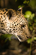 Leopard (Panthera pardus) - male<br /> AFRICA: Botswana<br /> Moremi Game Reserve and Okavanga Delta area near Third Bridge<br /> 11.April.2007<br /> J.C. Abbott #2328 &amp; K.K. Bauer