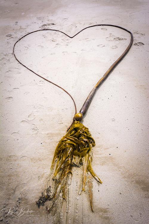 Kelp heart on Sand Dollar Beach, Los Padres National Forest, Big Sur, California USA