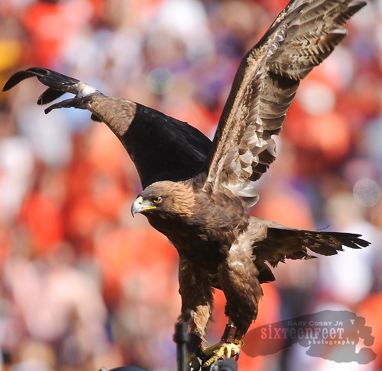Daily Photo by Gary Cosby Jr. ..Nova, Auiburn's golden eagle mascot takes a ride on the hand of a trainer after gliding into Jordan Hare Stadium as Auburn played LSU in an SEC west showdown of unbeaten teams Saturday, October 23, 2010 in Auburn.