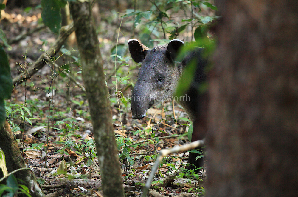 Baird&rsquo;s Tapir (Tapirus bairdii) in rainforest. Corcovado National Park, Osa Peninsula, Costa Rica. <br />