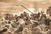 Hunting walrus from long boats in Arctic waters