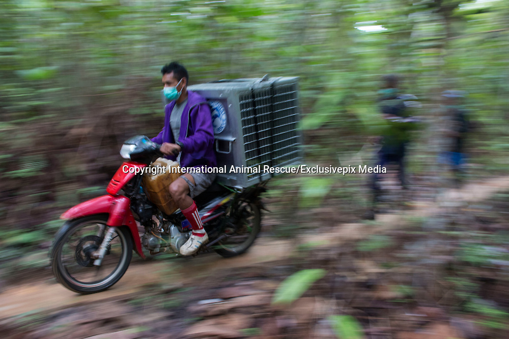 "Conservationists return three rescued orangutans to freedom in the rainforest but warn of increasing threats to the species' survival<br /> <br /> Three orangutans have been rescued and released into a national park in West Kalimantan after being driven out of the forest by massive land clearance operations to make way for agricultural plantations. News of the orangutans' translocation has been released with a strong message about increasing threats to the survival of the Critically Endangered species.<br /> <br /> A team from International Animal Rescue (IAR) Indonesia joined with Gunung Palung National Park (GPNP) and members of the BKSDA (Conservation of Natural Resources) in West Kalimantan to release the three orangutans (Pongo pygmaeus.)<br /> <br /> The orangutans were named Brown, Kokom, and Zola. Zola was rescued by IAR's team and the local Forest Department on 30 January this year.  Brown was rescued on 27 December 2016 from a village not far from IAR's rescue centre in Sungai Awan, Ketapang and female Kokom was rescued on 30 November from a rubber plantation owned by residents in Sumber Priangan Village, Nanga Tayap District. She was found with a rope around her neck, suggesting she had been kept in captivity, perhaps as a pet, and then set free.<br /> <br /> Zola was rescued from a pineapple plantation owned by residents in the village of Merbau, in Ketapang. The adult male weighing about 60 kg was captured by IAR's team after damaging hundreds of the villagers' pineapple plants. The pineapple orchard is adjacent to an area of land currently being cleared. Zola had apparently been driven out of his habitat by the land clearing activities and entered the pineapple plantation in search of food.<br /> <br /> The three rescues indicate that the orangutans' habitat is being increasingly squeezed by massive forest clearance for industrial-scale agricultural plantations. <br /> <br /> Karmele Llano Sanchez, Programme Director of IAR Indonesia, said: ""Orangutans are declining very fast and their forest is disappearin"