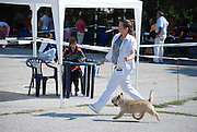 Cairn terrier paraded before the judges at a dog show. Model and Property Release available