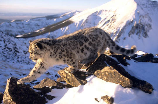 Snow Leopard, (Panthera uncia) Inhabits the high mountains in central Asia. Captive Animal.