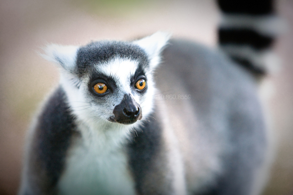 In Madagascar, non-profit groups such British NGO Azafady are educating villagers to prevent the continued hunting of the endangered lemur.