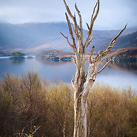 The jagged remains of an old pine by the banks of Loch Assynt, Sutherland