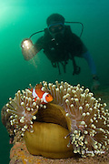 diver observes a clown or false clown anemonefish or common clownfish, Amphiprion ocellaris, in a magnificent sea anemone, Heteractis magnifica, on the wreck site known as The Barges - actually three sections of a floating dock sunk off Grande Island or Fort Wint, at the entrance to Subic Bay, Philippines, at a depth of 6-31 m; MR 378