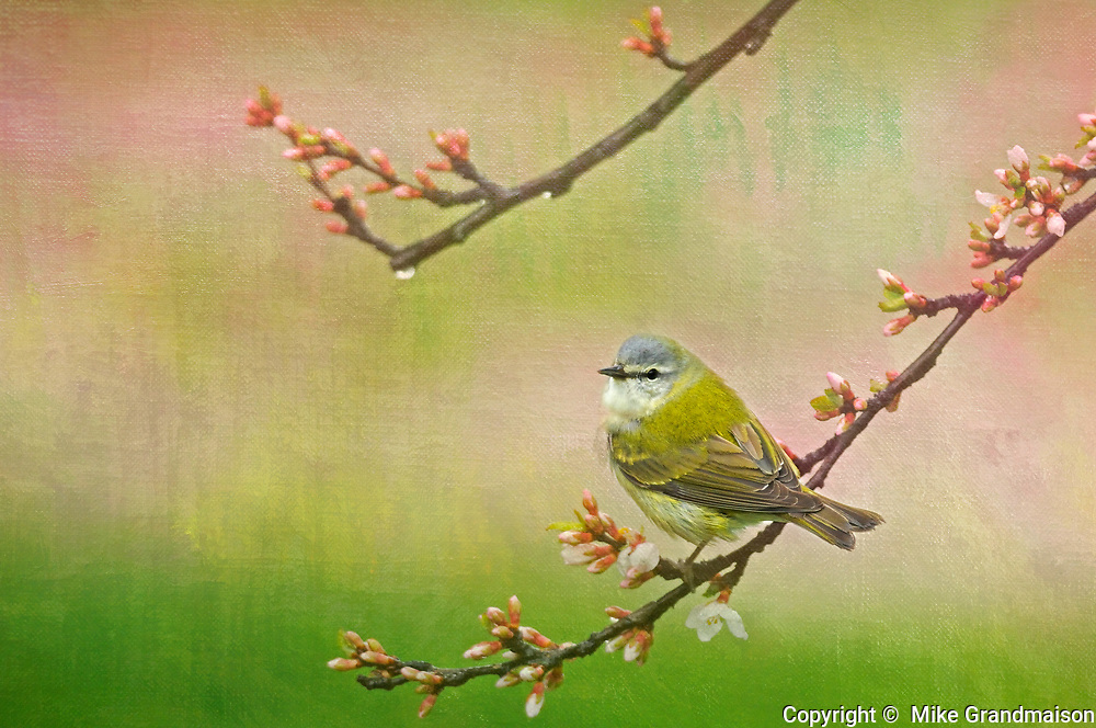 Tennessee warbler (Vermivora peregrina) in Nanking Cherry<br /> Winnipeg<br /> Manitoba<br /> Canada