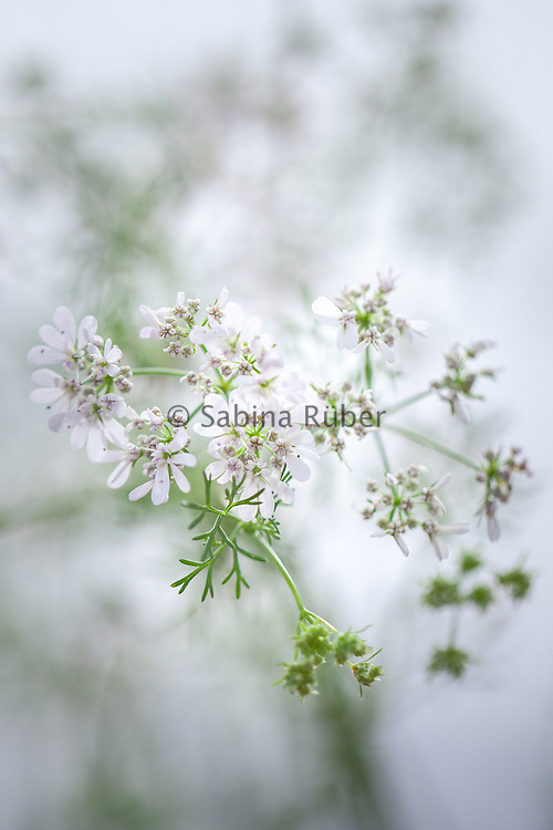 Coriandrum sativum - coriander