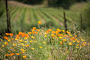Spring wildflowers among vines, Somerston Vineyard, Napa, California