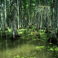 Bayou, Swamp and Wetland Nature and Animals