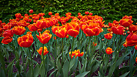 Orange tulips. Tulip festival at Keukenhof Gardens in Lisse, Netherlands. Image taken with a Nikon D4 camera and 14-24 mm f/2.8 lens.