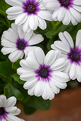 Osteospermum 'Akila White Purple Eye' F1 (African daisy)