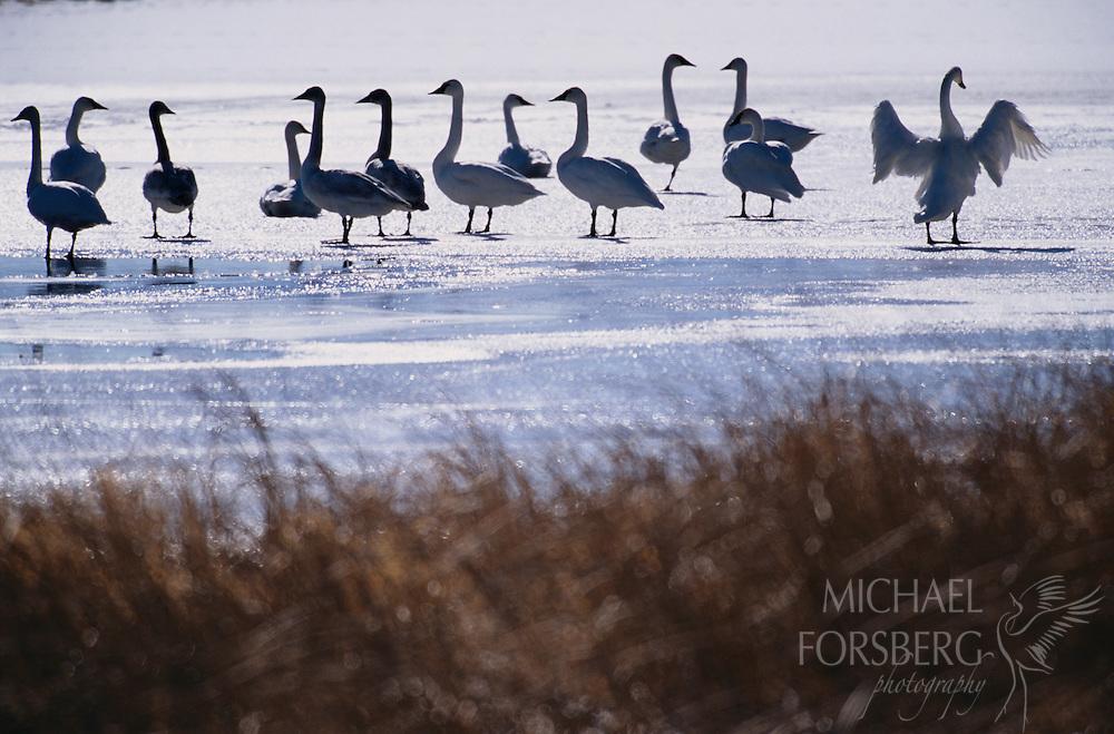 Trumpeter Swans. Sandhills, Nebraska. Wintering trumpeter swans on a frozen lake.