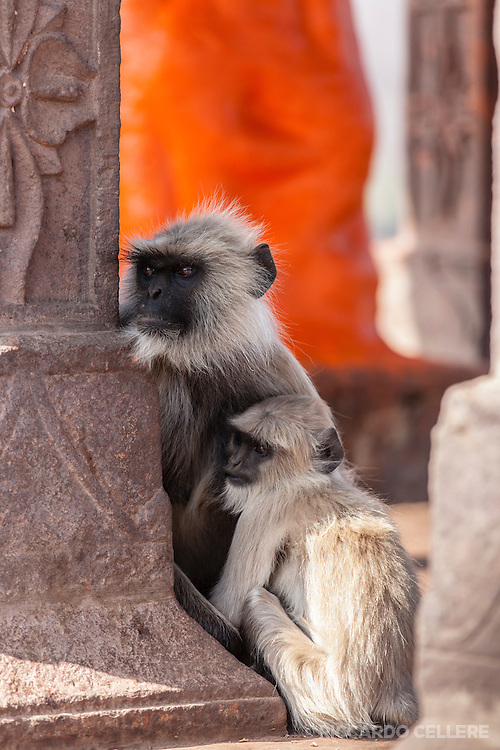 Langur monkeys at Ranthambhore Fort, Sawai Madhopur, India