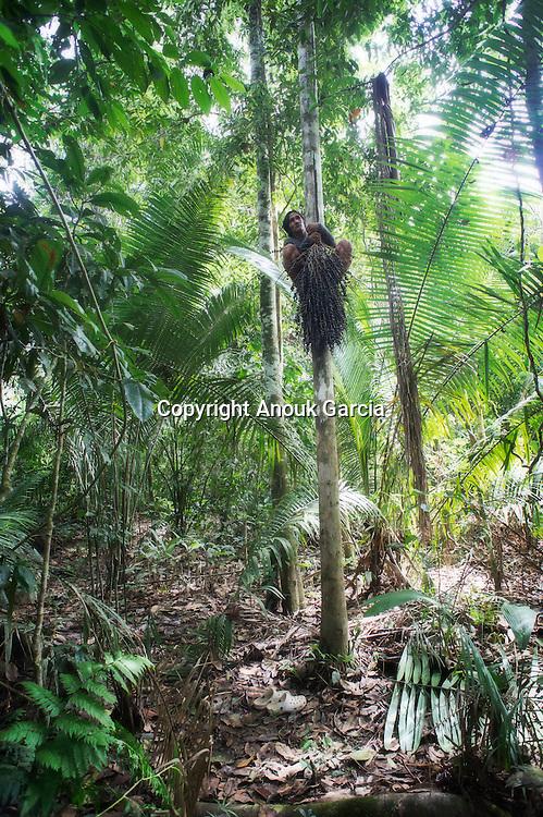 Cueillette et préparation de l'Açai. Avec un simple lien en feuille de palmier attaché aux pieds, le jeune indien monte à une vitesse records pour décrocher les hampe de fruit qui peuvent atteindre 20 à 30 kg. Savoir grimper est une condition de survie en forêt.