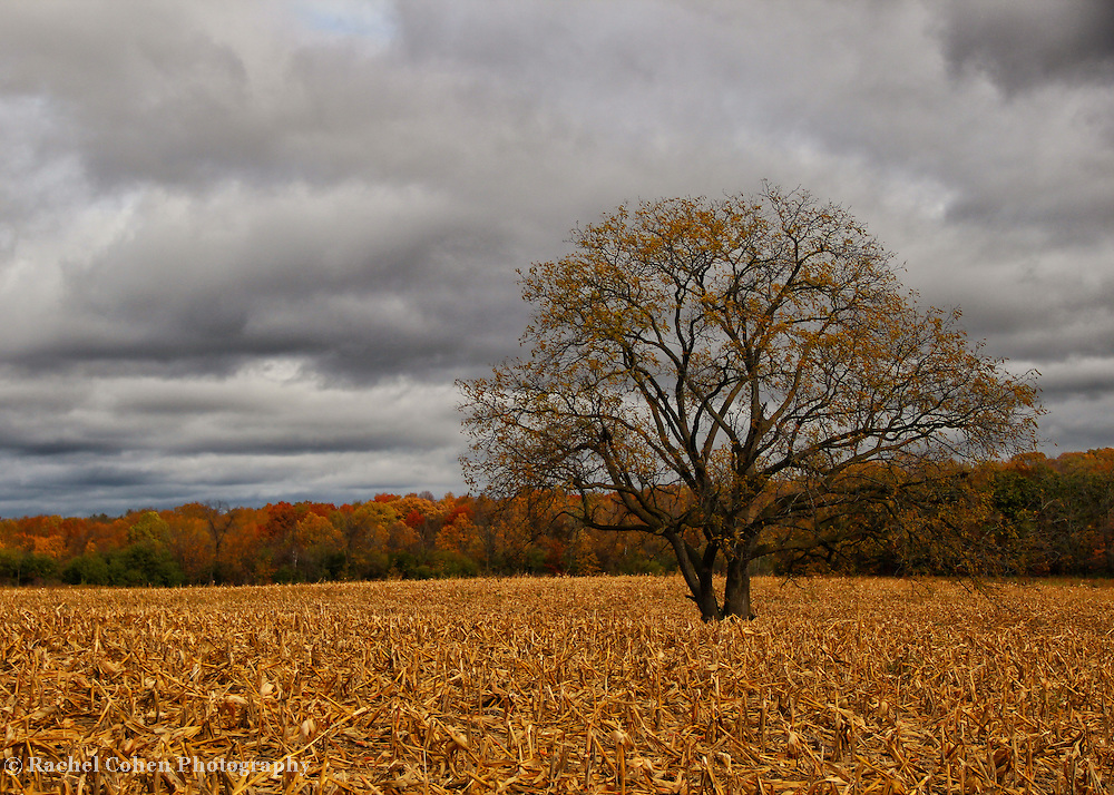 &quot;Autumnal Equinox&quot;<br /> <br /> The beauty of a lone tree in the middle of a huge cornfield in fall. Dark clouds loom over the landscape as cold air is ushered in! Most of the foliage is now gone, revealing the pure beauty of the tree itself!<br /> <br /> Autumn Landscapes of Michigan by Rachel Cohen