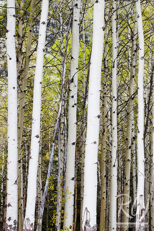 Aspen Trees Along Bow Valley Parkway, Banff National Park, Alberta, Canada