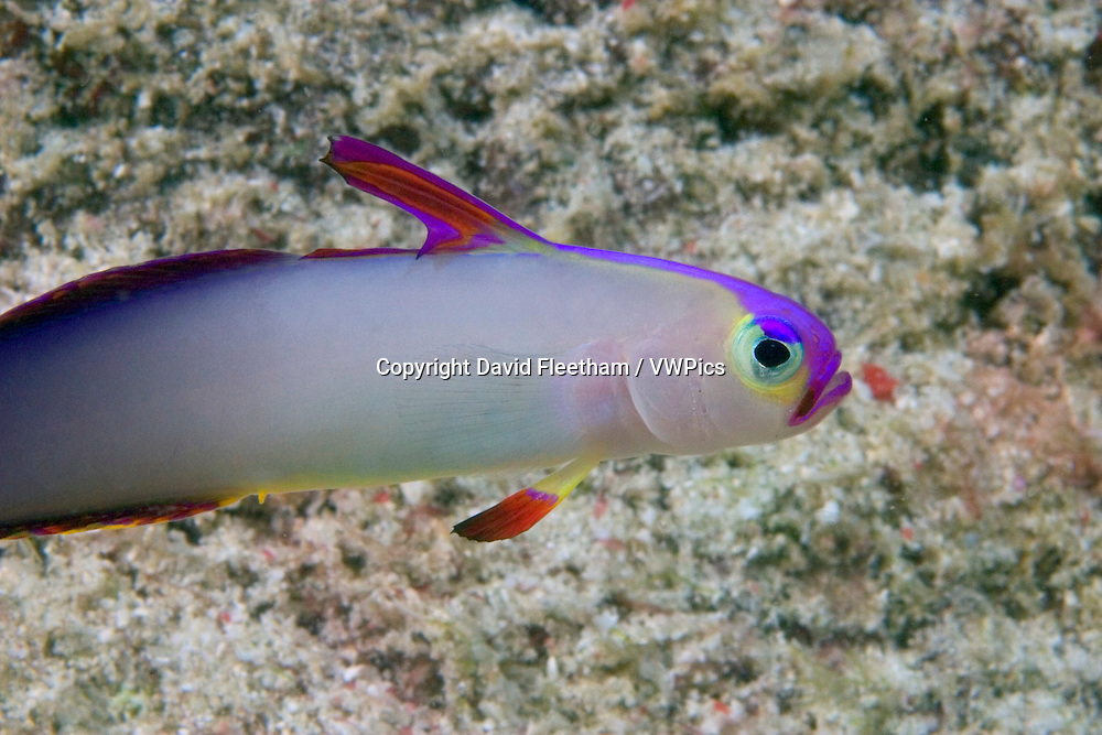 """The decorated dartfish, Nemateleotris decora, hovers near it's home, usually a tiny crack in the reef substrate or rubble bottom, and will """"dart"""" away at the first sign of danger.  Sipidan Island, Malaysia."""